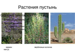 Растения пустынь кермек верблюжья колючка кактус