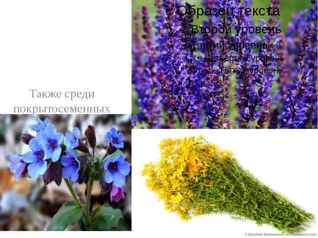 Также среди покрытосеменных растений много лекарственных. Это медуница, шалф...