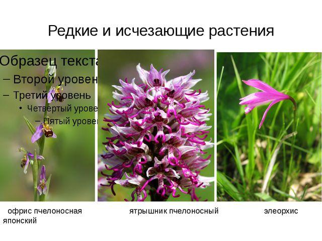 Редкие и исчезающие растения офрис пчелоносная ятрышник пчелоносный элеорхис...