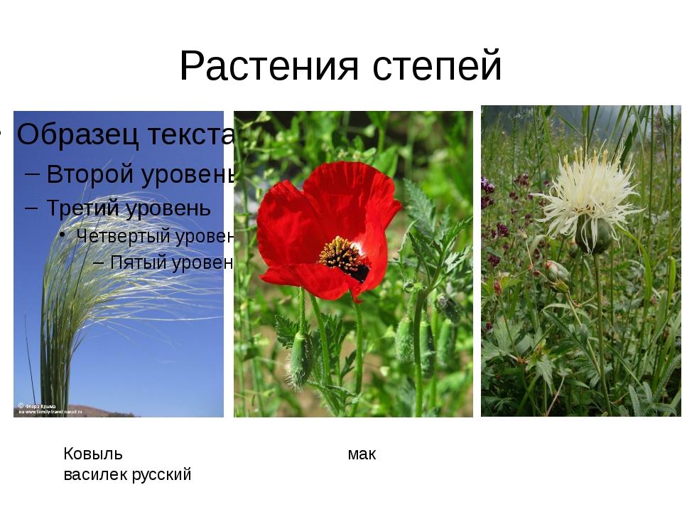 Растения степей Ковыль мак василек русский