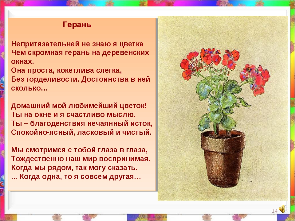 Герань Непритязательней не знаю я цветка Чем скромная герань на деревенских...
