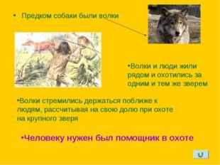 Предком собаки были волки Волки и люди жили рядом и охотились за одним и тем