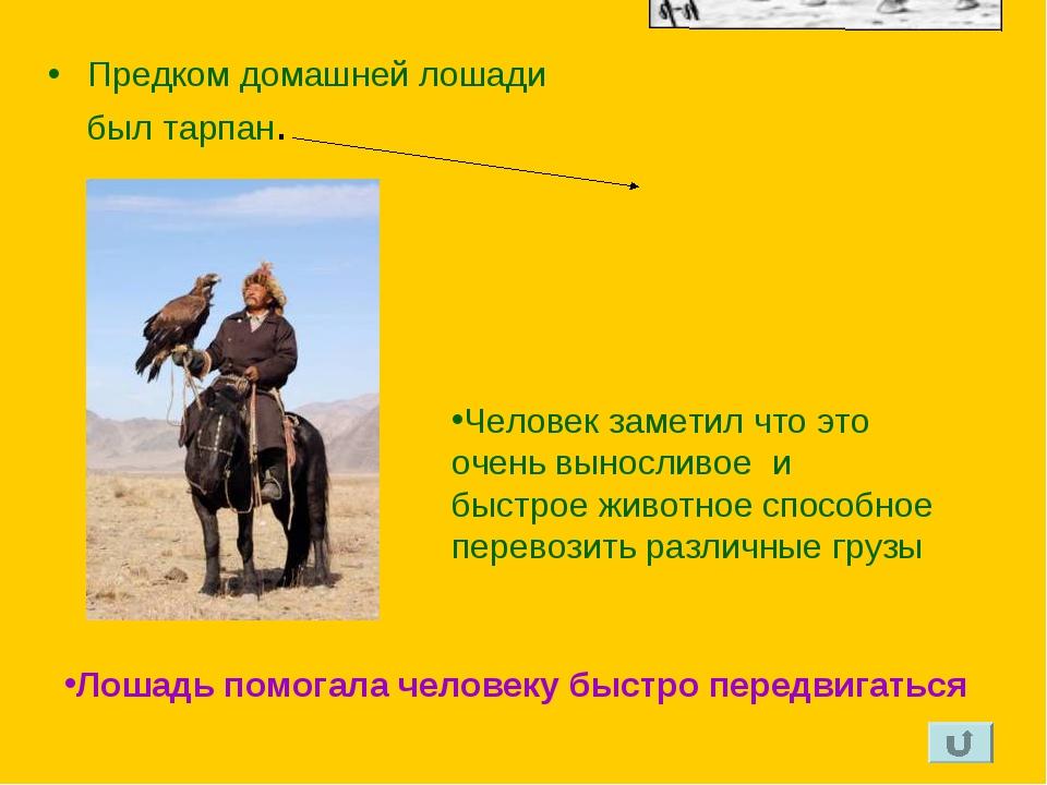 Предком домашней лошади был тарпан. Человек заметил что это очень выносливое...