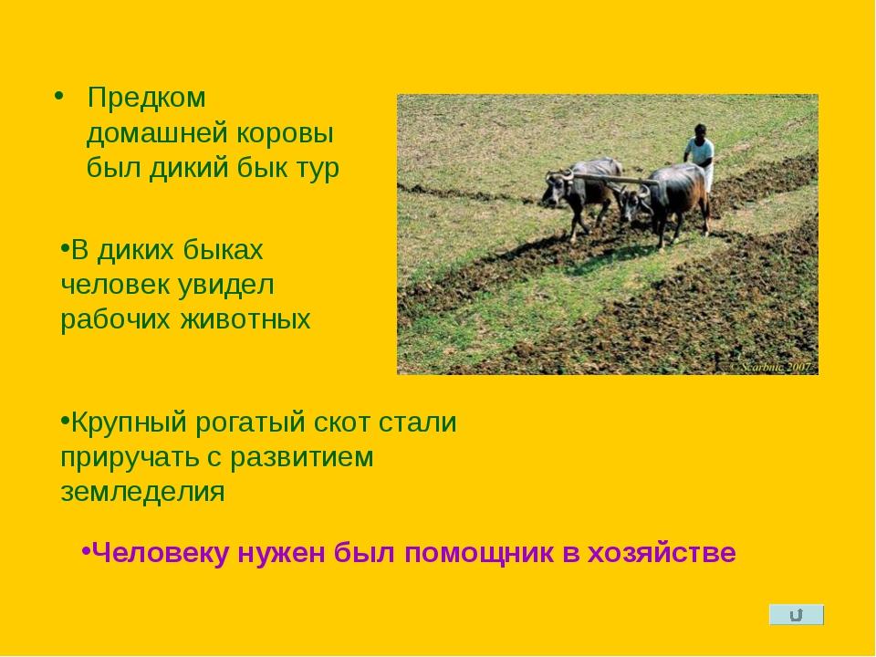 Предком домашней коровы был дикий бык тур В диких быках человек увидел рабочи...