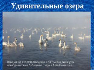 Удивительные озера Каждый год 250-300 лебедей и 1.5-2 тысячи диких уток прив