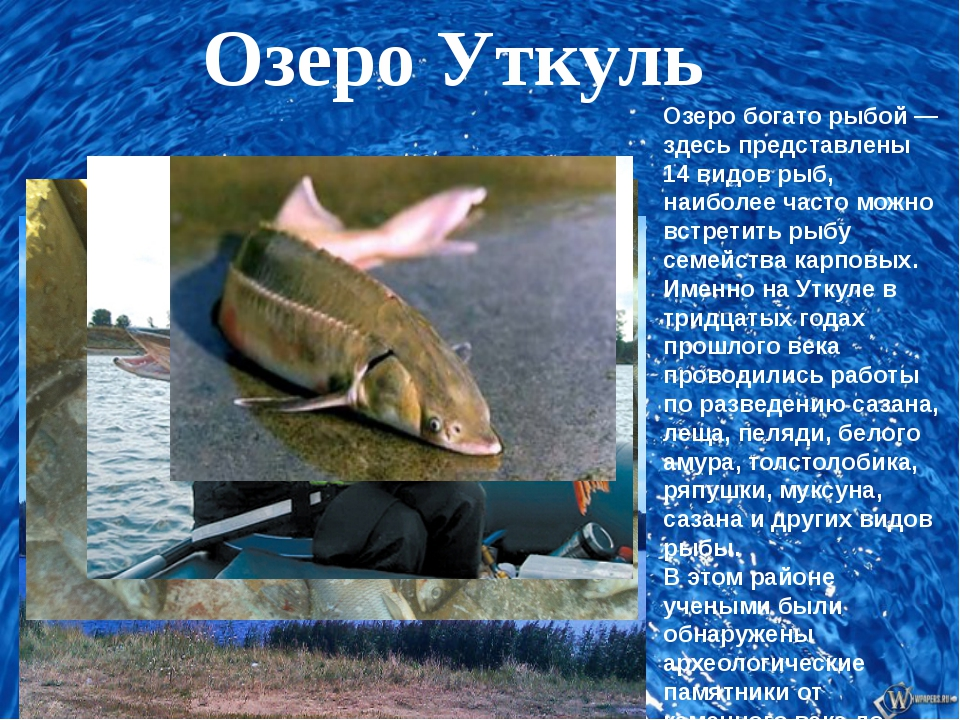 Озеро Уткуль Озеро богато рыбой — здесь представлены 14 видов рыб, наиболее...