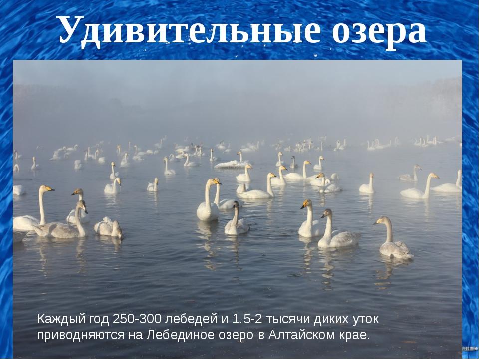 Удивительные озера Каждый год 250-300 лебедей и 1.5-2 тысячи диких уток прив...