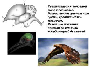 Увеличивается головной мозг и его масса. Развиваются зрительные бугры, средни