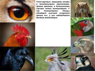 Глаза крупные, защищены веками и мигательными перепонками. Зрение цветное, в
