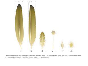 Типы перьев у птиц: 1— контурное, типичное маховое перо, 2— рулевое перо (п
