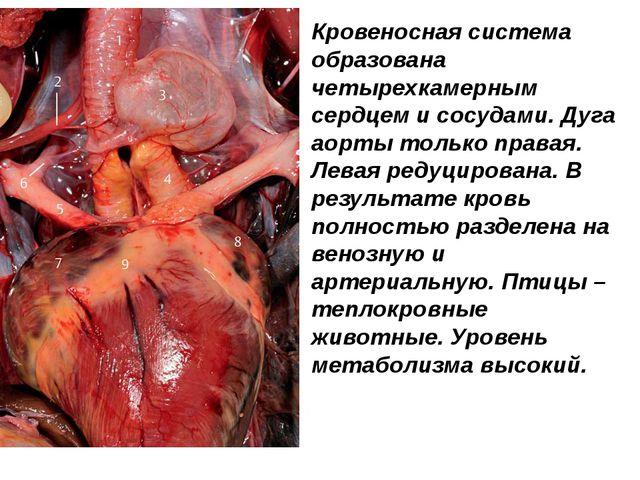 Кровеносная система образована четырехкамерным сердцем и сосудами. Дуга аорты...