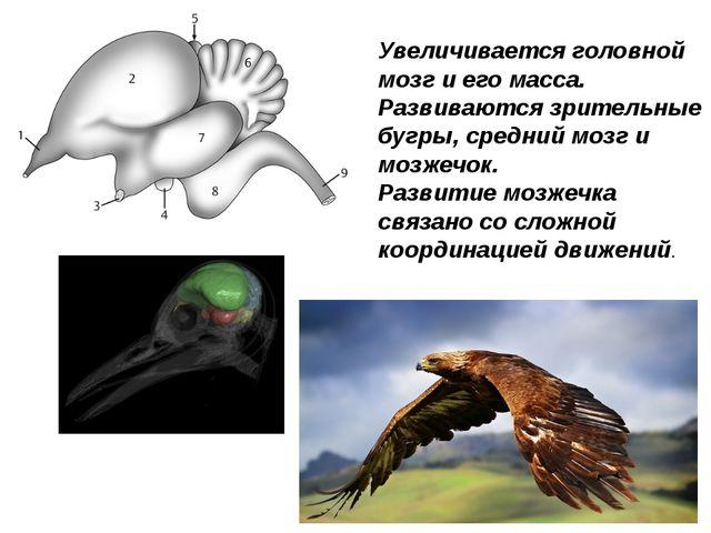 Увеличивается головной мозг и его масса. Развиваются зрительные бугры, средни...