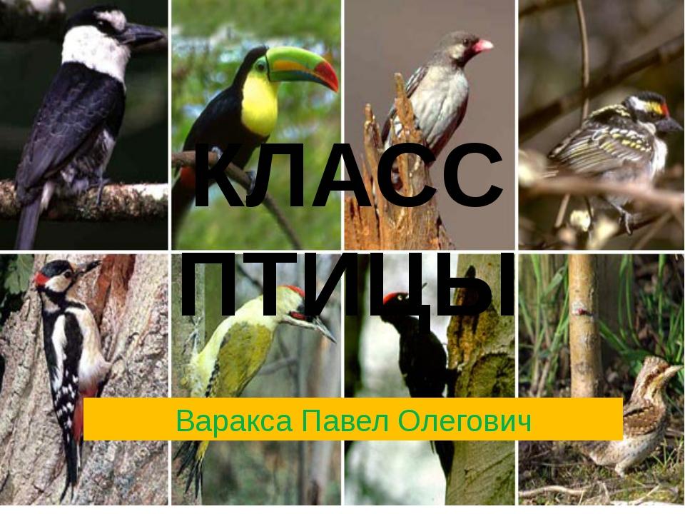 КЛАСС ПТИЦЫ Варакса Павел Олегович