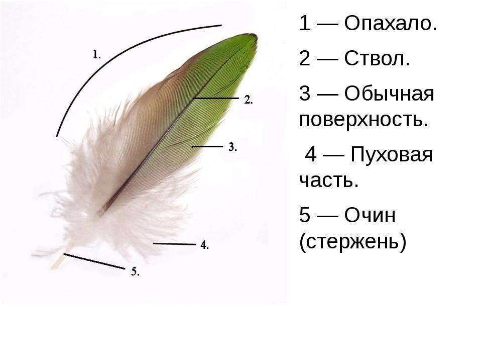 1— Опахало. 2— Ствол. 3— Обычная поверхность. 4— Пуховая часть. 5— Очин...