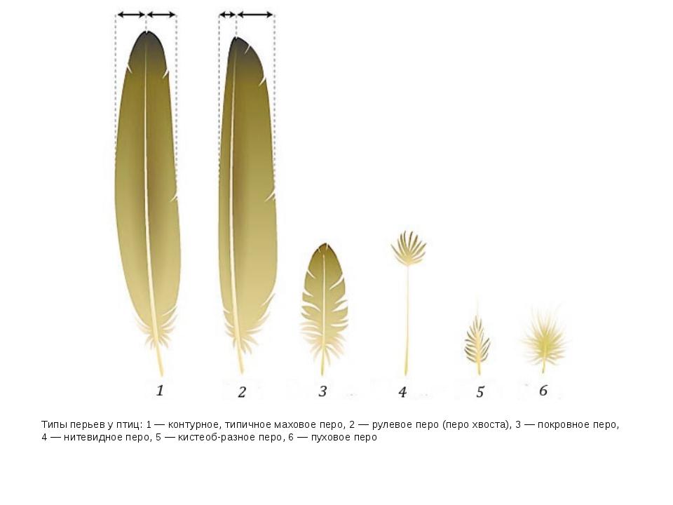 Типы перьев у птиц: 1— контурное, типичное маховое перо, 2— рулевое перо (п...