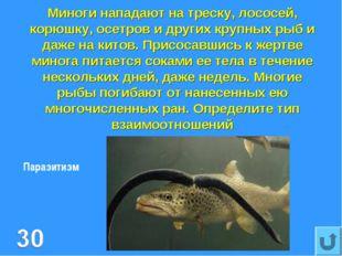 Миноги нападают на треску, лососей, корюшку, осетров и других крупных рыб и д