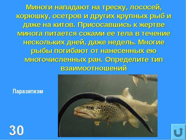 Миноги нападают на треску, лососей, корюшку, осетров и других крупных рыб и д...