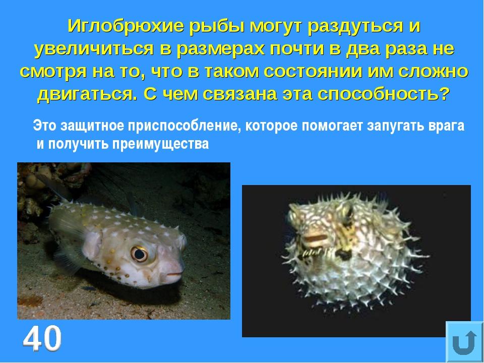 Иглобрюхие рыбы могут раздуться и увеличиться в размерах почти в два раза не...