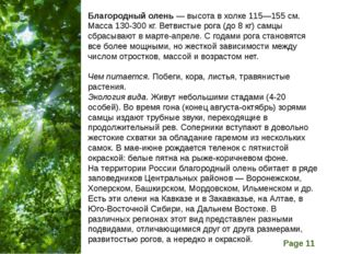 Благородный олень — высота в холке 115—155 см. Масса 130-300 кг. Ветвистые ро
