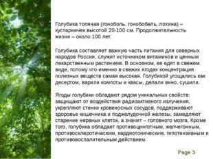 Голубика топяная (гоноболь, гонобобель, лохина) – кустарничек высотой 20-100