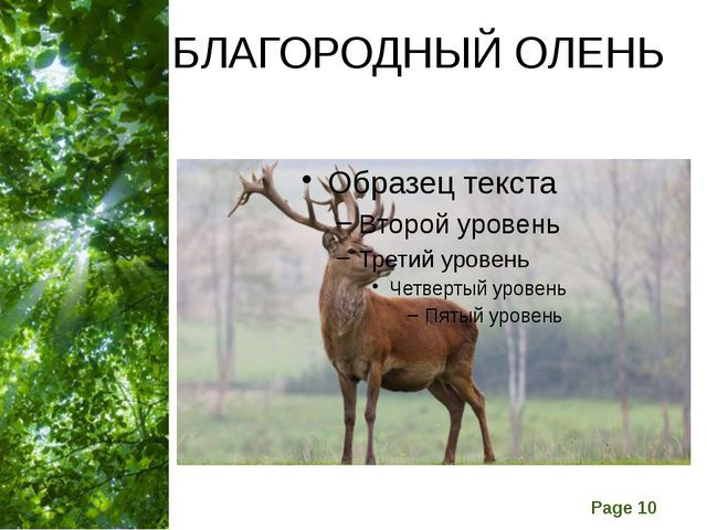 БЛАГОРОДНЫЙ ОЛЕНЬ Free Powerpoint Templates Page
