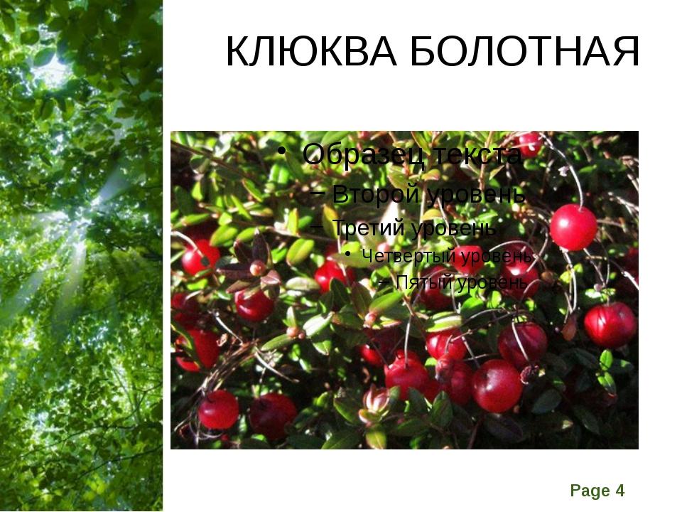 КЛЮКВА БОЛОТНАЯ Free Powerpoint Templates Page