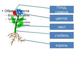 Плод, семена цветок лист стебель корень