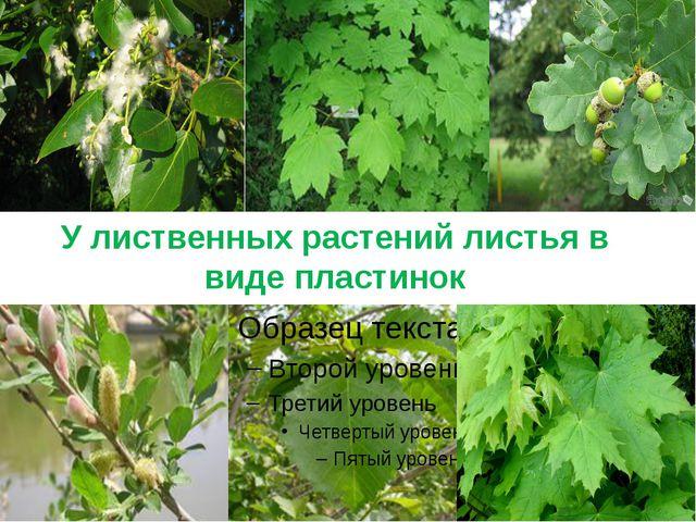 У лиственных растений листья в виде пластинок