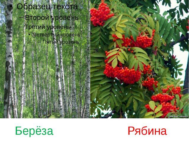 Берёза Рябина