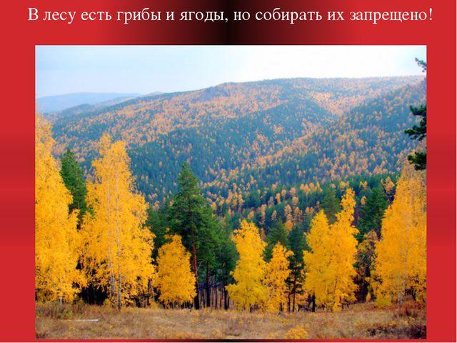 В лесу есть грибы и ягоды, но собирать их запрещено!