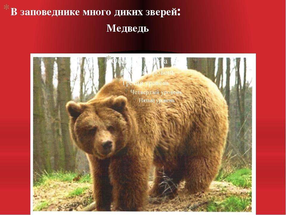 В заповеднике много диких зверей: Медведь