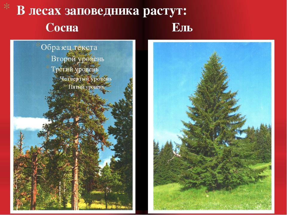 В лесах заповедника растут: Сосна Ель