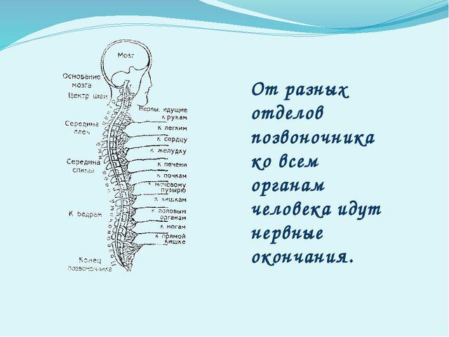 От разных отделов позвоночника ко всем органам человека идут нервные окончания.