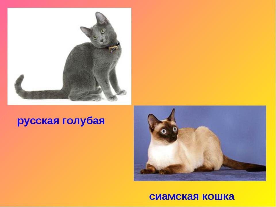 русская голубая сиамская кошка