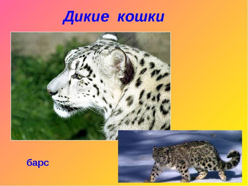 Дикие кошки барс