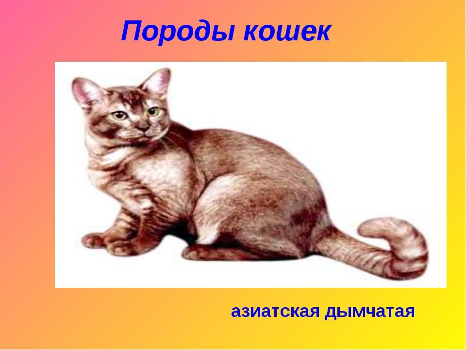 Породы кошек азиатская дымчатая