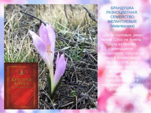 БРАНДУШКА РАЗНОЦВЕТНАЯ. СЕМЕЙСТВО МЕЛАНТИЕВЫЕ (Melantiaceae) Цветки лиловые,