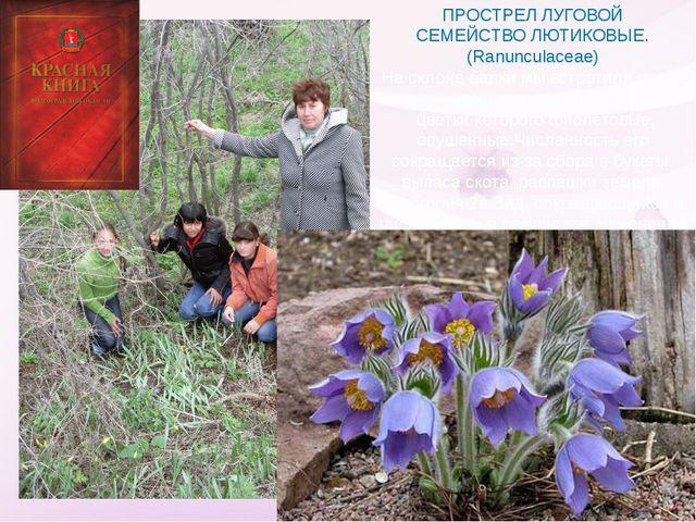 ПРОСТРЕЛ ЛУГОВОЙ СЕМЕЙСТВО ЛЮТИКОВЫЕ. (Ranunculaceae) На склоне балки мы встр...