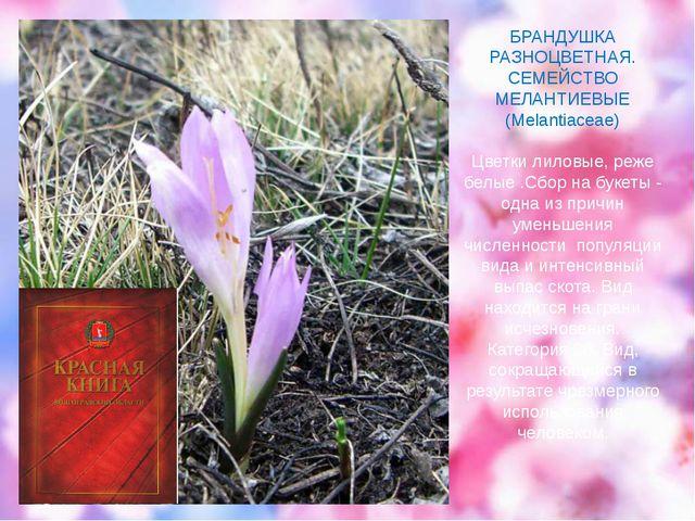 БРАНДУШКА РАЗНОЦВЕТНАЯ. СЕМЕЙСТВО МЕЛАНТИЕВЫЕ (Melantiaceae) Цветки лиловые,...