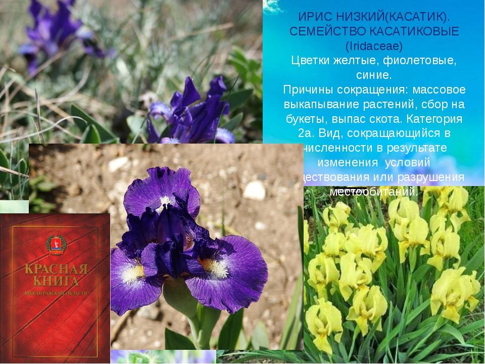 ИРИС НИЗКИЙ(КАСАТИК). СЕМЕЙСТВО КАСАТИКОВЫЕ (Iridaceae) Цветки желтые, фиоле...