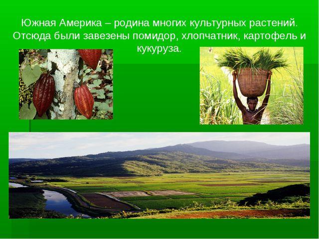 Южная Америка – родина многих культурных растений. Отсюда были завезены помид...