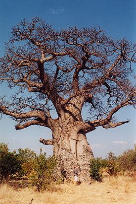 275px-Baobob_tree.jpg