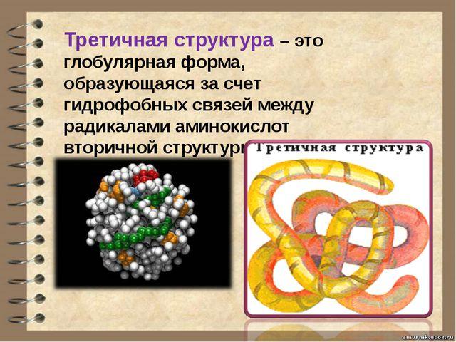 Третичная структура – это глобулярная форма, образующаяся за счет гидрофобных...