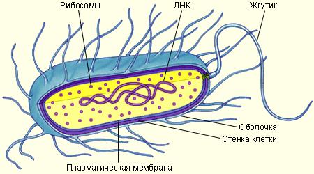 Мембранная система канальцев пронизающая всю клеку