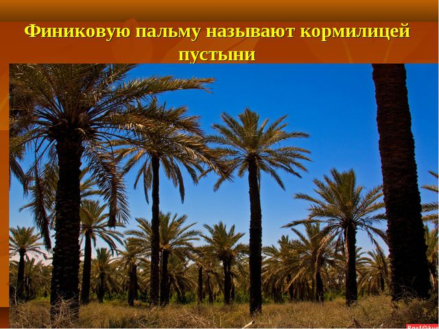 Финиковую пальму называют кормилицей пустыни