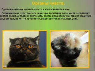 Одним из главных органов чувств у кошки являются усы. Лапками кошка чувствуе