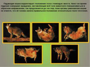 Падающая кошка корректирует положение тела с помощью хвоста. Хвост во время