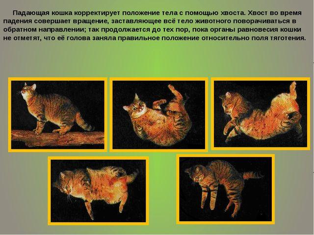 Падающая кошка корректирует положение тела с помощью хвоста. Хвост во время...
