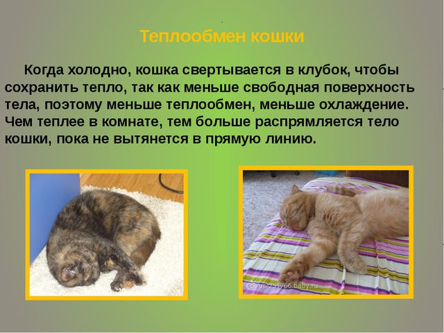 . Теплообмен кошки Когда холодно, кошка свертывается в клубок, чтобы сохранит...
