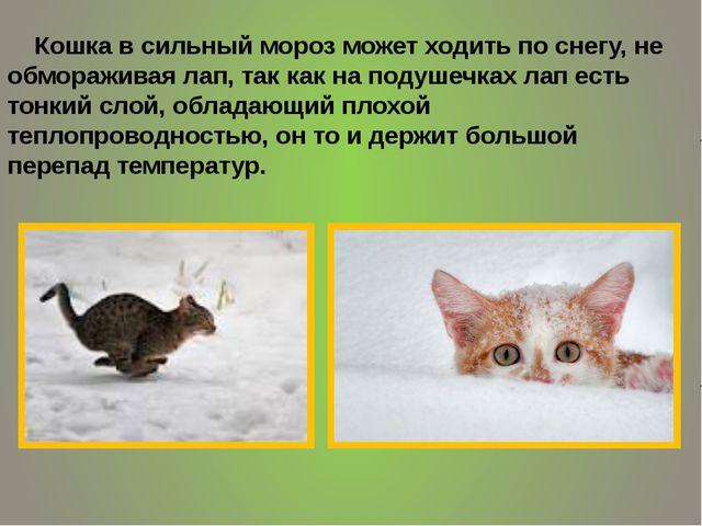 Кошка в сильный мороз может ходить по снегу, не обмораживая лап, так как на...
